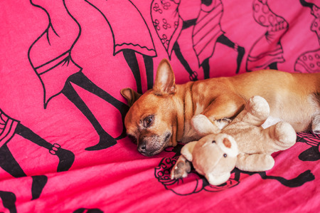 funny boston terrier: puppy with a puppet on the couch Stock Photo