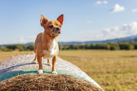 funny boston terrier: lively beige Puppy on big hay bale