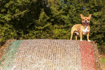 descubridor: animado del perrito de color beige en gran fardo de heno Foto de archivo