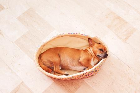 funny boston terrier: Sleeping beige Puppy in a soft Basket