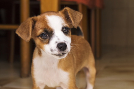 waif: little brown and white mixed race puppy