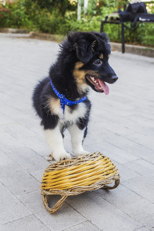 waif: black white and brown puppy playing with basket Stock Photo