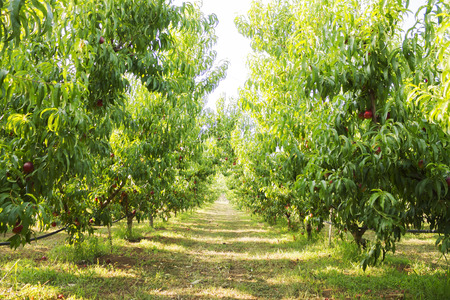 industrialized: beautiful landscape of big outdoor peach's plantation