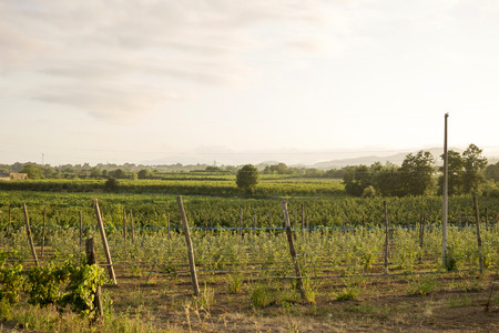 industrialized: beautiful landscape of big outdoor rural vineyard
