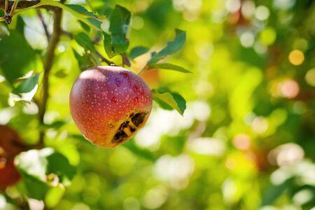 Italian typical rotten apple on the tree Stock Photo