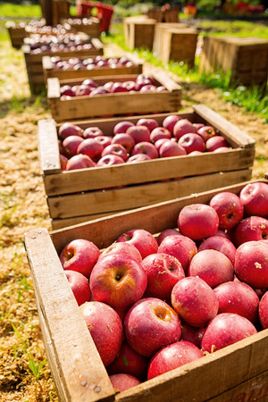 reddening: lot of Italian typical apples in a wooden box