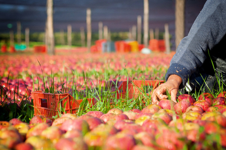 seasonal worker: Worker picking italian apples from the ground Stock Photo