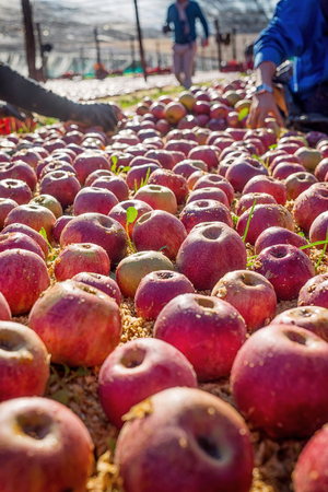 reddening: Farmer picking Italian typical apples from the ground Stock Photo