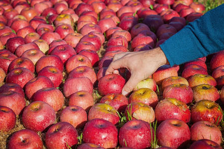 Worker picking italian apples from the ground Stock Photo