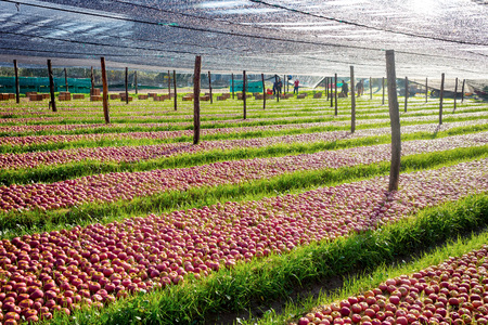 lot of Italian typical apples in the plantation