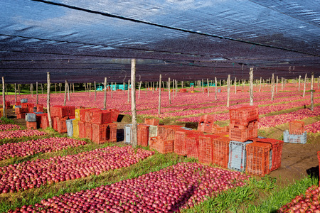 reddening: lot of Italian typical apples in the plantation