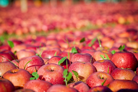 lot of Italian typical apples on the ground