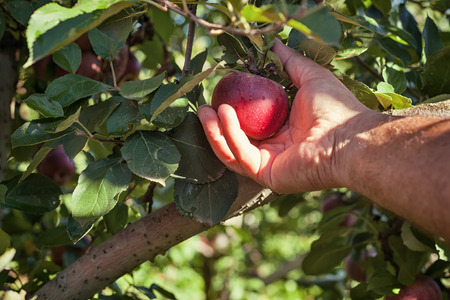 reddening: Worker picking Italian typical apples from tree