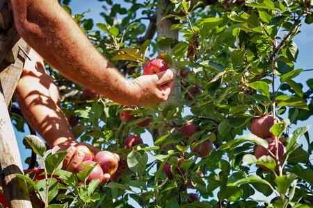 Travailleur sélectionnant des pommes typiques italiennes d'un arbre