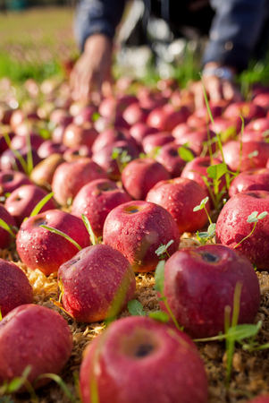 reddening: Worker picking italian apples from the ground Stock Photo