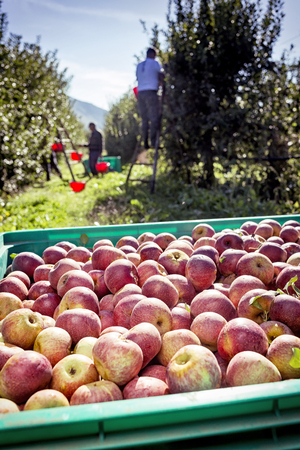 lot of Italian typical apples in a plastic box
