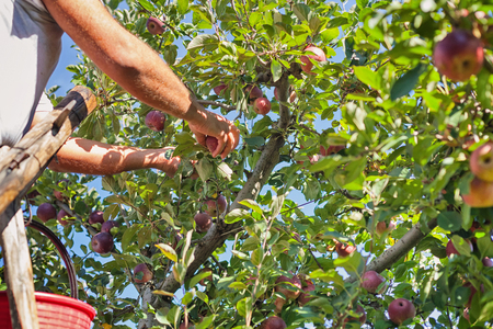 seasonal worker: Worker picking Italian typical apples from tree