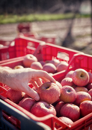 reddening: Worker picking Italian typical apples from a box Stock Photo