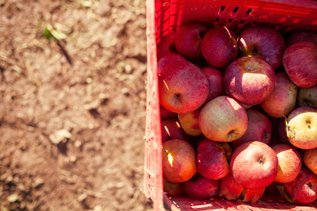 reddening: lot of Italian typical apples in a plastic box