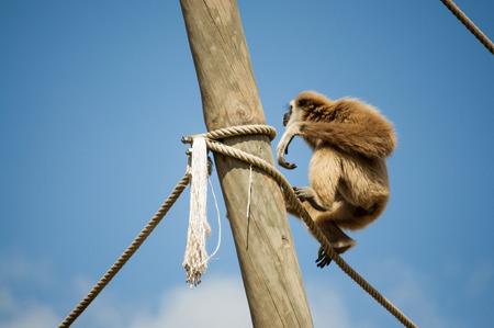 gibbon: one hanging gibbon  Stock Photo
