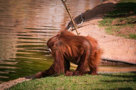 shaggy: alone shaggy orangutan