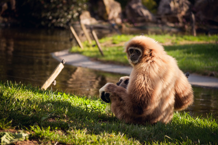 gibbon: sitting gibbon with a baby