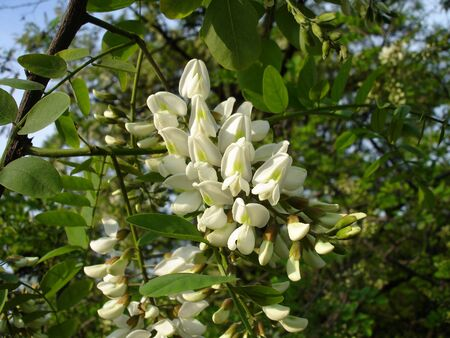 White acacia blossoms of acacia tree, close-up                      photo