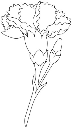karanfil: Beautiful vector image, illustration of Carnation flower Çizim