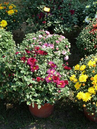 flowerpots: Red and yellow Chrysanthemums in the flowerpots