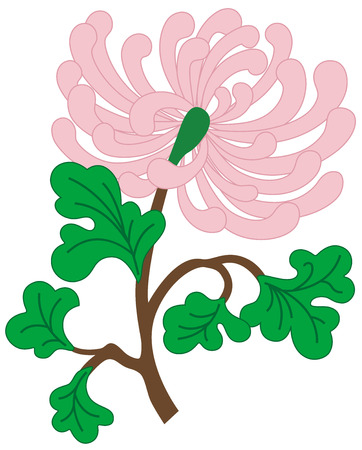 Beautiful vector illustration with pink chrysanthemum flower, isolated Vector