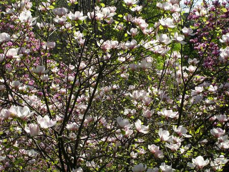 Background of blooming magnolia trees with white and pink flowers Stock Photo - 7296305
