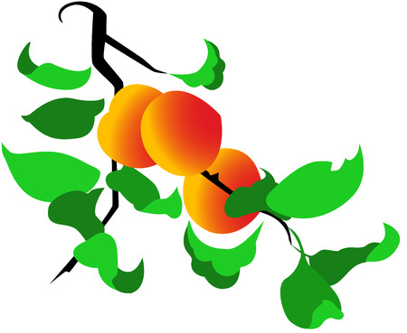 peach tree: Peach tree with ripe peach fruit on it, isolated