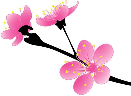 ramo di ciliegio: Bellezza fioritura di Sakura in primavera, isolato.