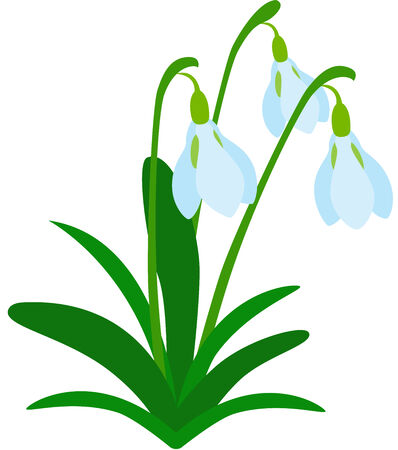 snowdrops: illustration of tree fresh snowdrops, Isolated. Illustration