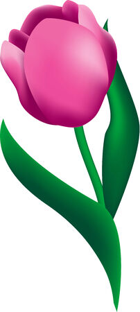 Beautiful illustration of a pink Tulip flower, isolated