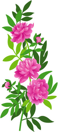 Beautiful illustration of a fresh Peony, isolated Ilustração