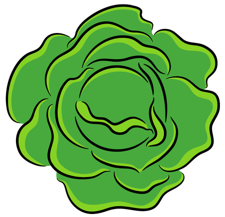 green cabbage: Illustration of fresh garden cabbage, isolated