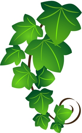 vine leaf: The green twig of ivy,  isolated