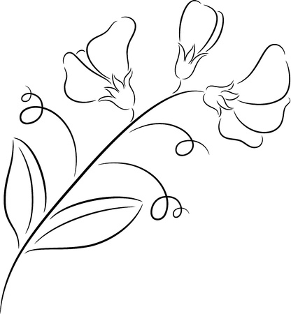 garden peas: Illustration of  fresh sweet pea flower, isolated Illustration