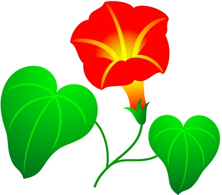 convolvulus: Beautiful illustration of a red flower, isolated