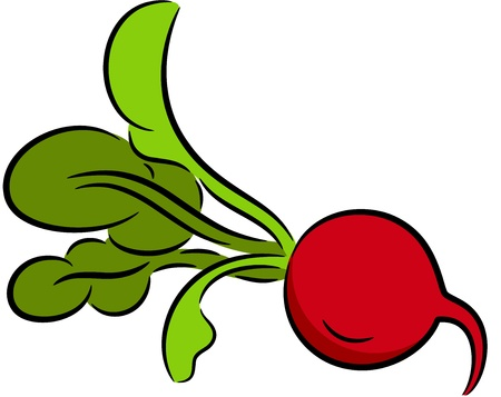 Illustration of a ripe radish, isolated