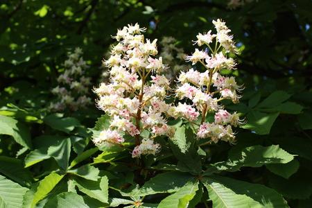 castaÑas: Flores de castaño de Indias en tiempo de primavera, flor del árbol