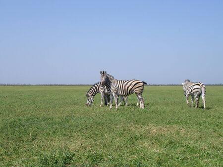 grazer: The zebra pasturing in the grass in the national park Askania-Nova.