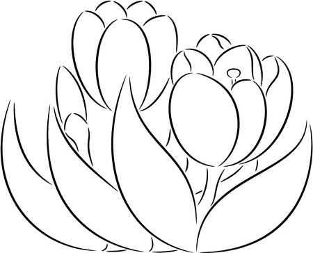 crocus: illustration of crocus flowers, isolated