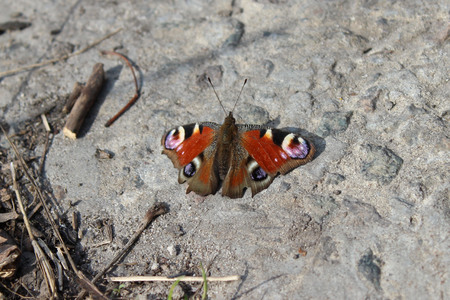 peacock butterfly: Peacock butterfly with slightly opened wings sits on the ground
