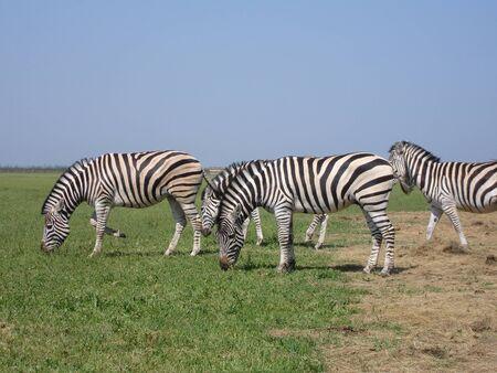 grazer: The zebra pasturing in the grass in the national park Askania-Nova