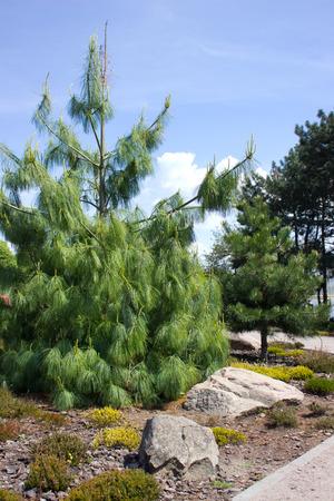 botanic: Fir tree in botanic garden in springtime, Ukraine, Kiev