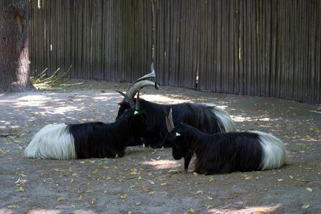 ungulate: Wild black goats in the zoo, Ukraine, Kiev