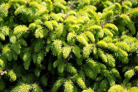 firry: A background of a green Fir tree