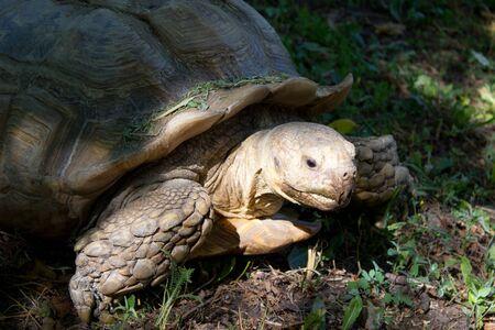 land turtle: Huge land turtle or tortoise walking on the grass